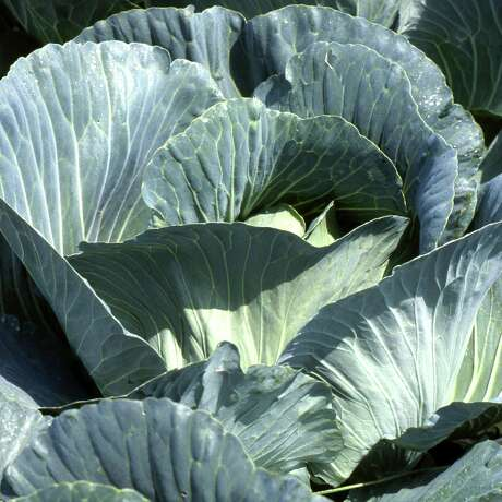 A third-grade reader seeks advice for growing a great, big cabbage for a gardening contest.