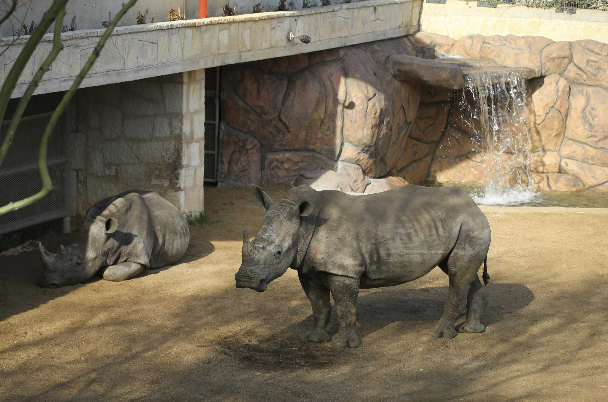 New Rhino Habitat At San Antonio Zoo Offers Expanded