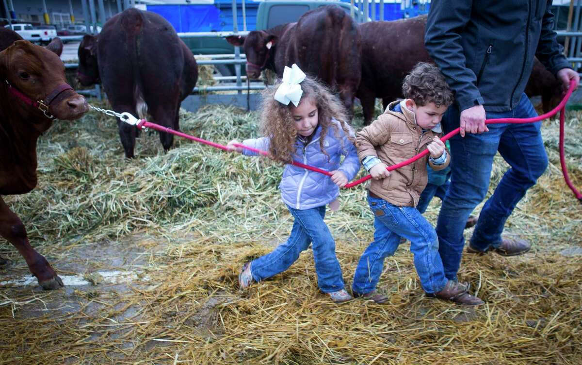 Lucia Sanchez, 5, and Roland Sanchez, 3, try to help feed the family's Santa Gertrudis cattle outside of the Houston Livestock Show and Rodeo on a rainy Thursday, Feb. 28, 2019. The family owns a cattle operation called RedDoc Farm in central New Mexico and are in town showing their Santa Gertrudis cattle.