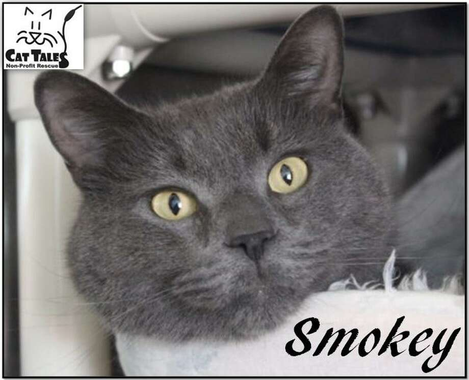 "Smokey is a gray male, about five years old. He says, ""I came to Cat Tales because my owner went into a convalescent home. I'm very confused as to why I'm at a shelter now and would love to come home with you. I'm very sweet, love to be petted and love attention. I'd love to hang out with you on the couch or in bed. I'm very mellow but prefer to be the only pet in the home. Please adopt me."" Visit http://www.CatTalesCT.org/cats/Smokey, call 860-344-9043 or email info@CatTalesCT.org. Watch our TV commercial: https://youtu.be/Y1MECIS4mIc Photo: Contributed Photo"