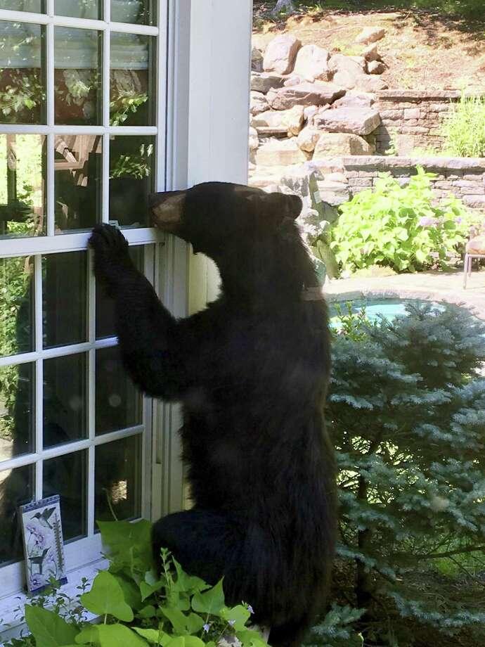 A black bear explores the yard of Steve and Julie Sonlin in Avon last July. Photo: Julie Sonlin Via Associated Press / Julie Sonlin