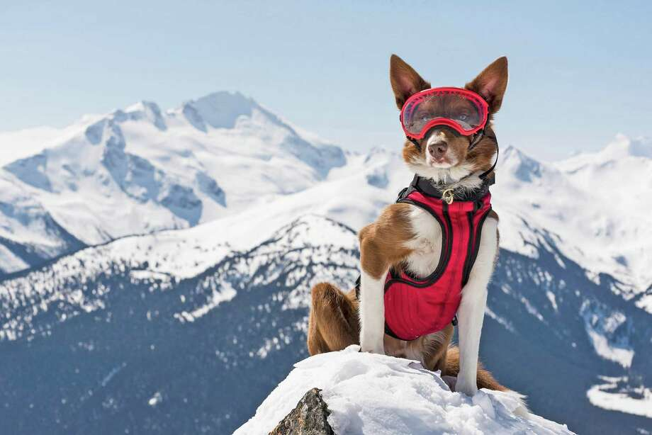 """Henry, an avalanche rescue expert in the Canadian Rockies, sits on watch in a scene from """"Superpower Dogs,"""" a new IMAX movie that opens at The Maritime Aquarium at Norwalk on March 15. It celebrates the incredible abilities of dogs, and the science behind their super powers. Photo: © 2018 Cosmic Picture Ltd. / Contributed Photo"""