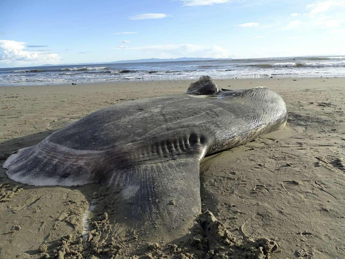 In this Feb. 21, 2019 photo, provided by UC Santa Barbara, A hoodwinker sunfish lays on the beach at Coal Oil Point Reserve in Santa Barbara, Calif. (Thomas Turner, UC Santa Barbara via AP)