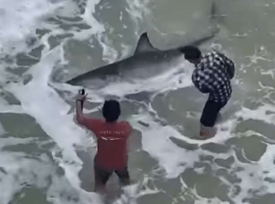 A man fishing off Navarre Beach Pier in Florida reeled in a 10-foot-long, 700-pound great white shark. See footage of the catch on YouTube. Photo: Courtesy:  Adrian Key/Windjammers On The Pier