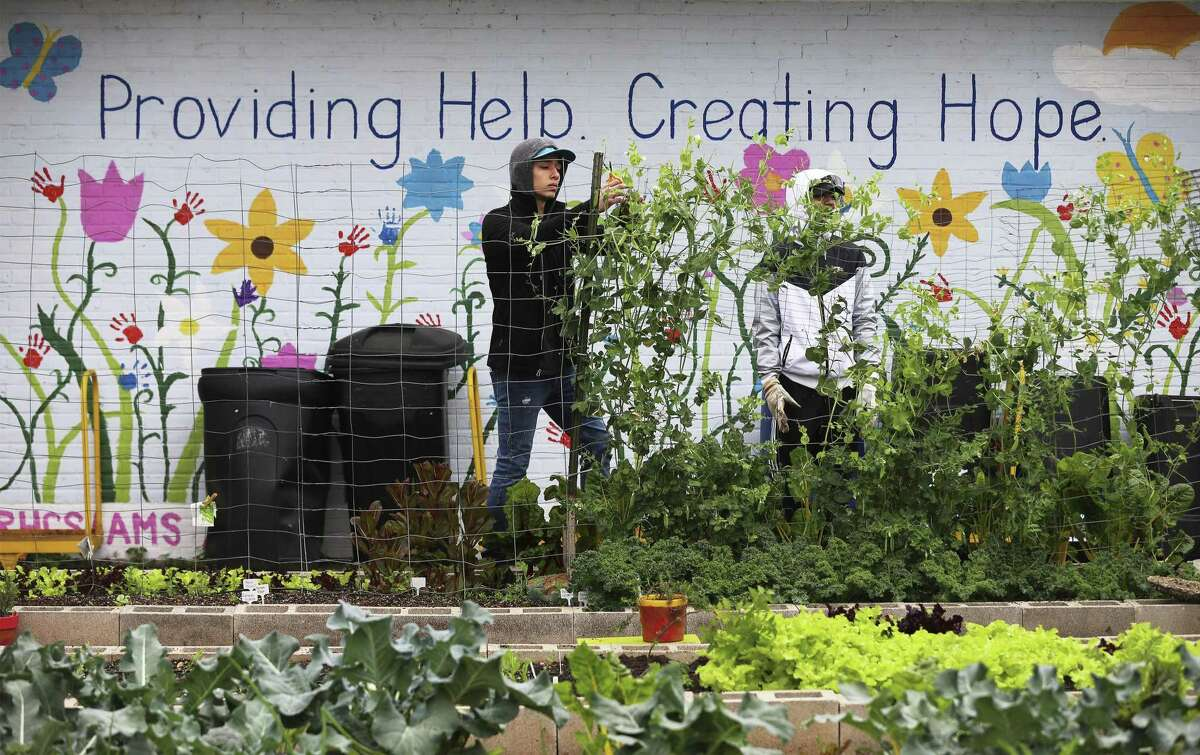 St. Mary's University students Isaac Saenz, center, and Benjamin Martinez harvest peas from the Guadalupe Community Center garden. Volunteers there and in other sites around the city did volunteer work in the 40 Days of Lent and Service campaign.