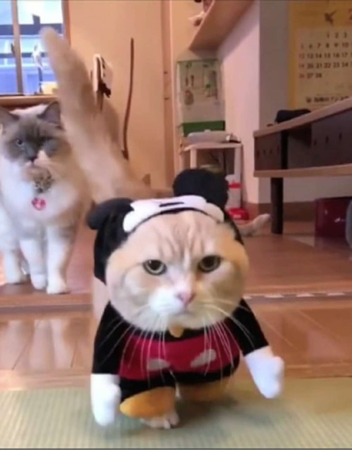A cat not happy with its owner's fashion choice in a video at CatVideoFest