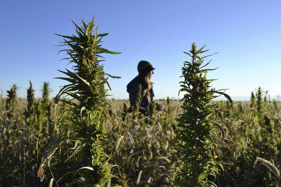 A woman stands in a hemp field at a farm in Springfield, Colo. Colorado, Oregon and Vermont are the only states that allow farmers to grow hemp under state supervision. Photo: P. Solomon Banda / Associated Press / Copyright 2019 The Associated Press. All rights reserved.