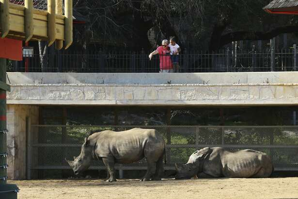 A zoo patron and a child look at Nyota (left) and Ophelia, two new Southern White rhinos at the San Antonio Zoo on Wednesday, Feb. 27, 2019. The arrival of the rhinos signals the opening of the enlarged Savana Habitat, which includes landscaping, trees, a waterfall and several additional species. An added feature is a 22,000-pound, 17-foot tall statue of three endangered White rhinos by artists Gillie and Marc that greets zoo patrons at the front of the new exhibit. The two female rhinos that inhabit the exhibit have only spent about a week there and zoo officials wanted the pair to acclimate to their new surroundings before inviting patrons to see them. The exhibit features an enormous deck overlooking the rhinos for unprecedented views of the three-year-old animals. Currently weighing in from 2,200 to 2,700 pounds, the rhinos enjoy an expanded range of movement in the exhibit along with a waterfall feature and even a pass-through area to another space. Other animals will be incorporated into the exhibit such as zebras and birds according to zoo officials. The new exhibit cost about $1 million. (Kin Man Hui/San Antonio Express-News)
