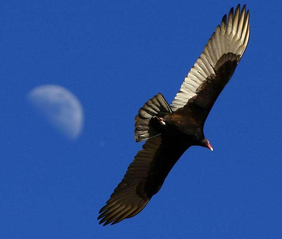 A turkey vulture, sometimes called a turkey buzzard, flies over the Mission Reach section of the San Antonio River near Espada Dam. Photo: William Luther, Staff / San Antonio Express-News / @2015 San Antonio Express-News