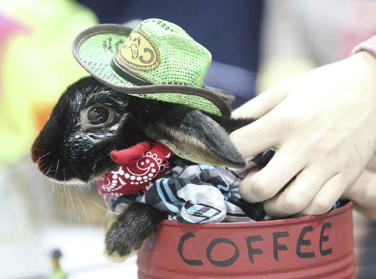 Goose, a mini satin rabbit, behaves in it's costume as Leon Coffee during the Rabbit/Cavy Costume Contest at the Houston Livestock and Rodeo Show on Monday, March 4, 2019.