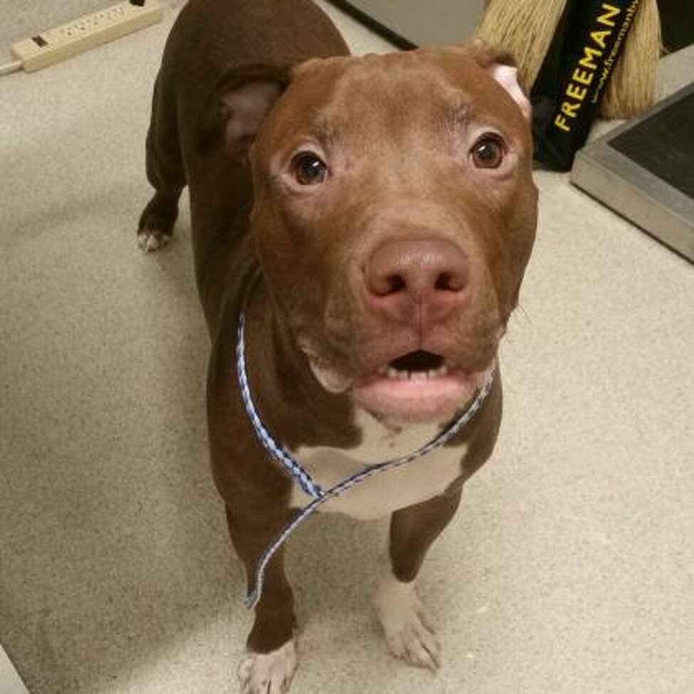 Andre is a 1-year-old male American pit bull terrier mix.