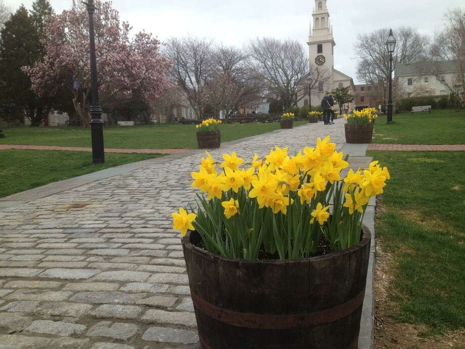 Daffodil Days are returning to Newport, R.I. Photo: Contributed Photo