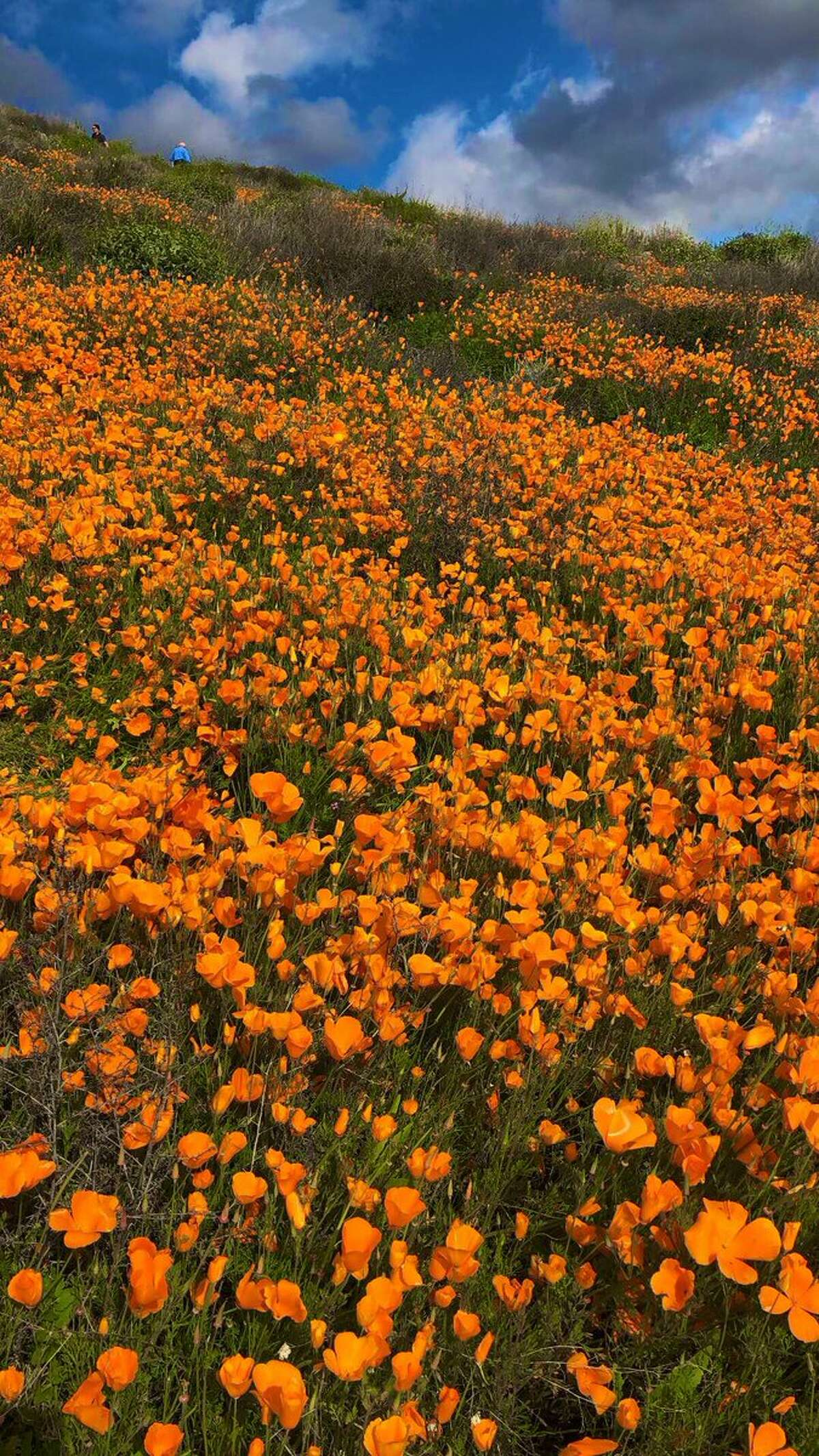 The poppy display in the Gavilan Hills near Lake Elsinore, Calif., March 2019.