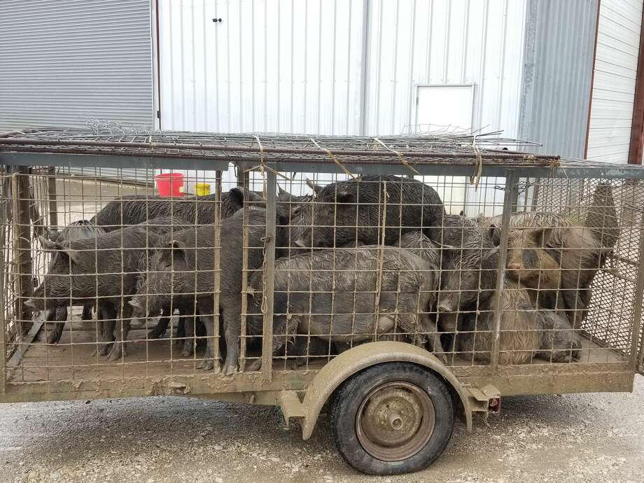 Steven Horelica, co-owner of Deep South Trapping, has trapped pigs all over suburban areas in Houston, including Kingwood, Missouri City, Cypress and Liberty. Over the last few years, the number of hogs he has trapped has increased significantly, from 742 in all of 2016 to 1387 in 2018. So far in 2019, he has already caught 306 hogs. Photo: Courtesy Steven Horelica/Deep South Trapping