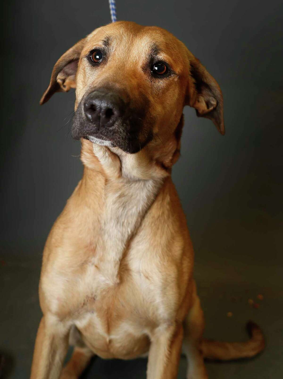 Athena is a 2-year-old, female, Black Mouth Cur mix and is ready to be adopted from Fort Bend County Animal Services. (Animal ID: A019343) Photographed Tuesday, March 5, 2019, in Rosenberg.