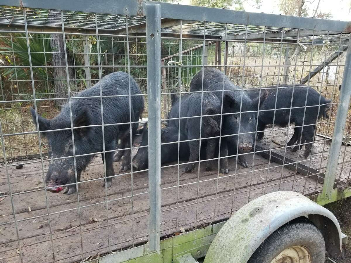 Horelica caught this group of 7 wild hogs in the Royal Shores subdivision in Kingwood in Dec.