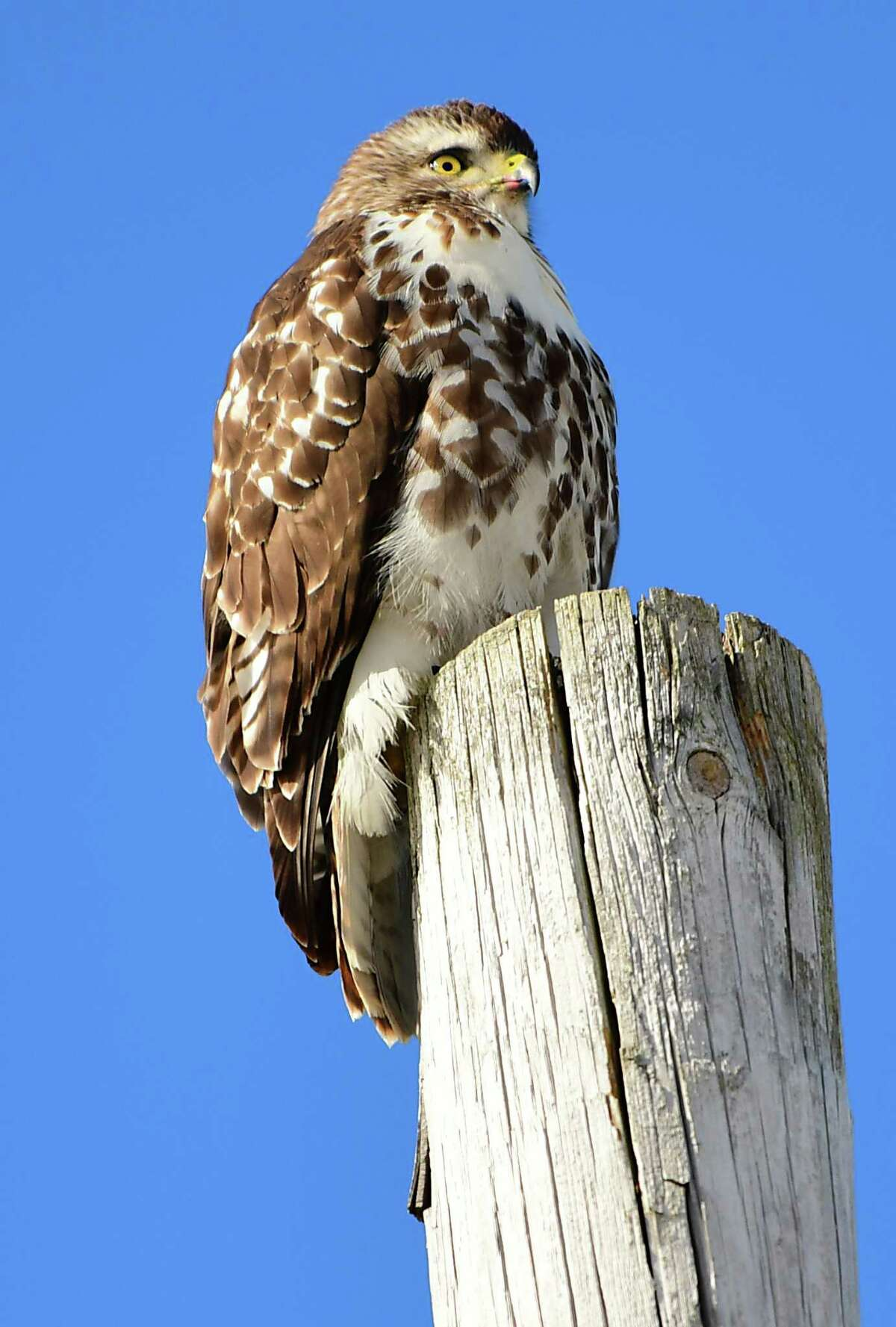 A hawk looks for food from the top of a utility pole on Wednesday, March 6, 2019 in Glenmont, N.Y. (Lori Van Buren/Times Union)