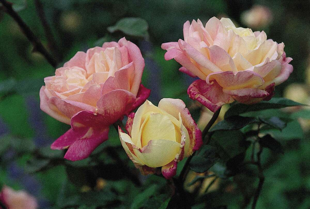 The heirloom rose Mrs. Dudley Cross has blousy flowers that change color as they age.
