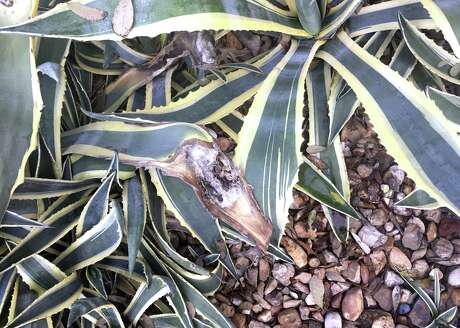 The browning on these variegated agaves may be due to excessive sunlight, especially if water collects on the leaf surfaces and stands there while the sun is shining.