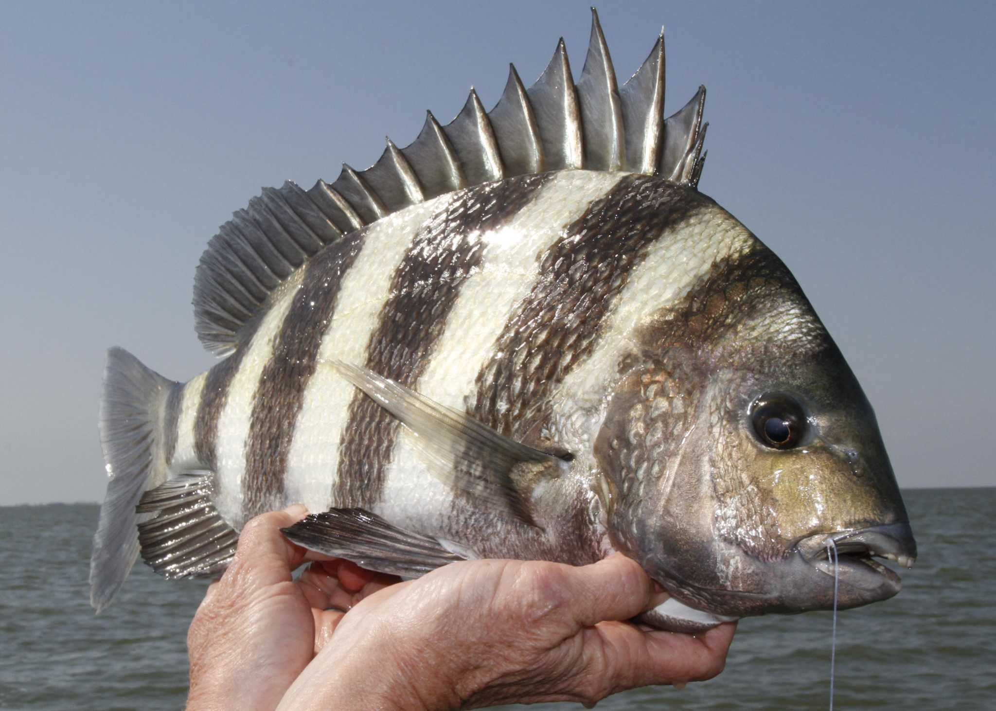 Now is the time to round up sheepshead - HoustonChronicle.comSaltwater Sheepshead