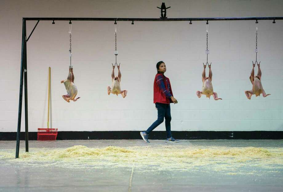 Chicken carcasses hang after being graded on their quality by agricultural students during a poultry judging competition inside the NRG Arena during the Houston Livestock Show and Rodeo at NRG Park, Wednesday, March 6, 2019. Students look for defects, evaluating the poultry products and assigning USDA grades. Photo: Mark Mulligan, Staff Photographer / © 2019 Mark Mulligan / Houston Chronicle