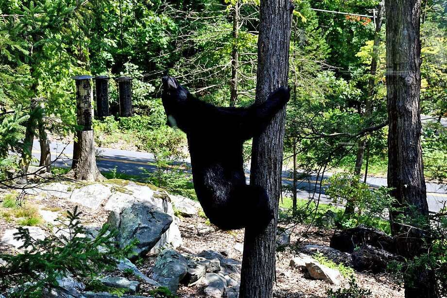 Black bear seen in Brookfield. Photo: Contributed Photo / Connecticut Post Contributed