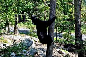Black bear seen in Brookfield.