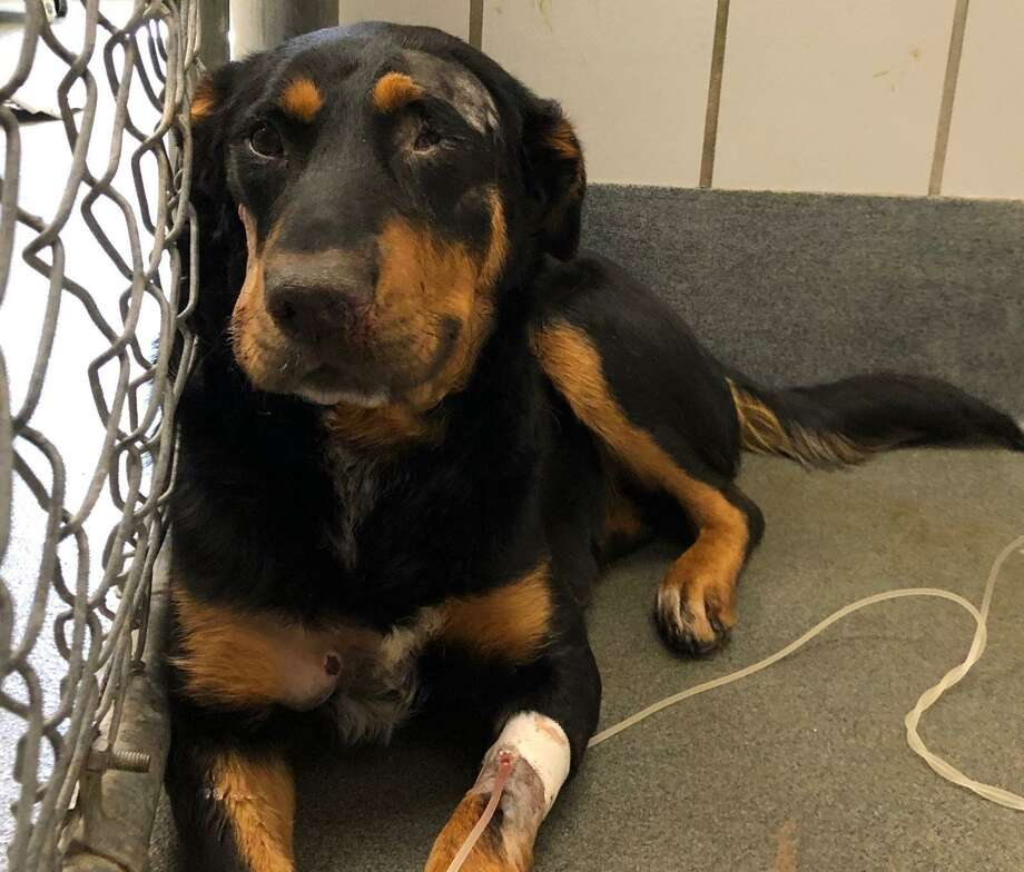 Paddie, a 1-year-old Rottweiler mix, is recovering from getting shot in the eye at Animal Care Services veterinary clinic. ACS cruelty investigators are working with rescue partners and the San Antonio Police Department to determine who shot the dog. Photo: Photo Courtesy Of Animal Care Services /