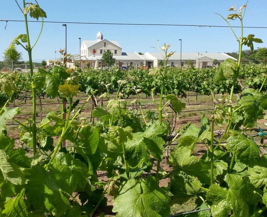 TTU Teaching Vineyard Photo: TCWCA & Texas Tech