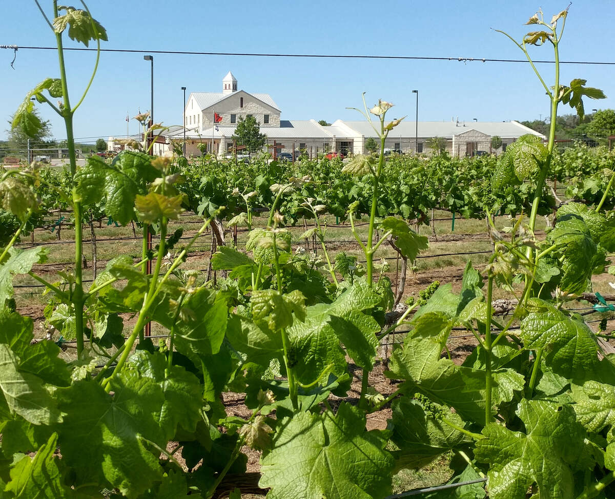 TTU Teaching Vineyard