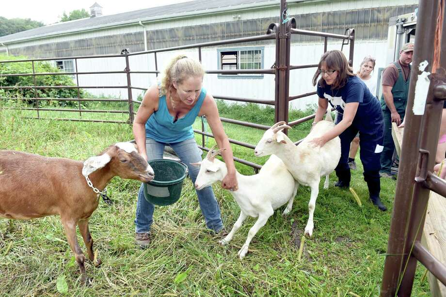 Kathleen Schurman (center), owner of Locket's Meadow Farm, and Annie Hornish, Connectictut State Director of the Humane Society of the United States, attempt to corral 13 goats into a pen at Locket's Meadow Farm in Bethany on 8/25/2015. Photo: Arnold Gold / New Haven Register
