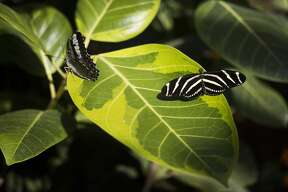The butterfly house at Dow Gardens is open to visitors on Thursday, March 7, 2019 in Midland. (Katy Kildee/kkildee@mdn.net)