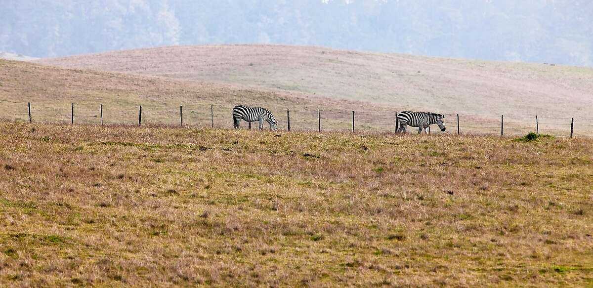 Zebra graze on the rolling landscape of Hearst Ranch on the central California coast. These now free-roaming zebras were once part of a private zoo on lands adjacent to Hearst Castle.