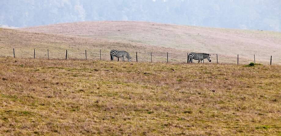 Zebra graze on the rolling landscape of Hearst Ranch on the central California coast. These now free-roaming zebras were once part of a private zoo on lands adjacent to Hearst Castle. Photo: Getty Images