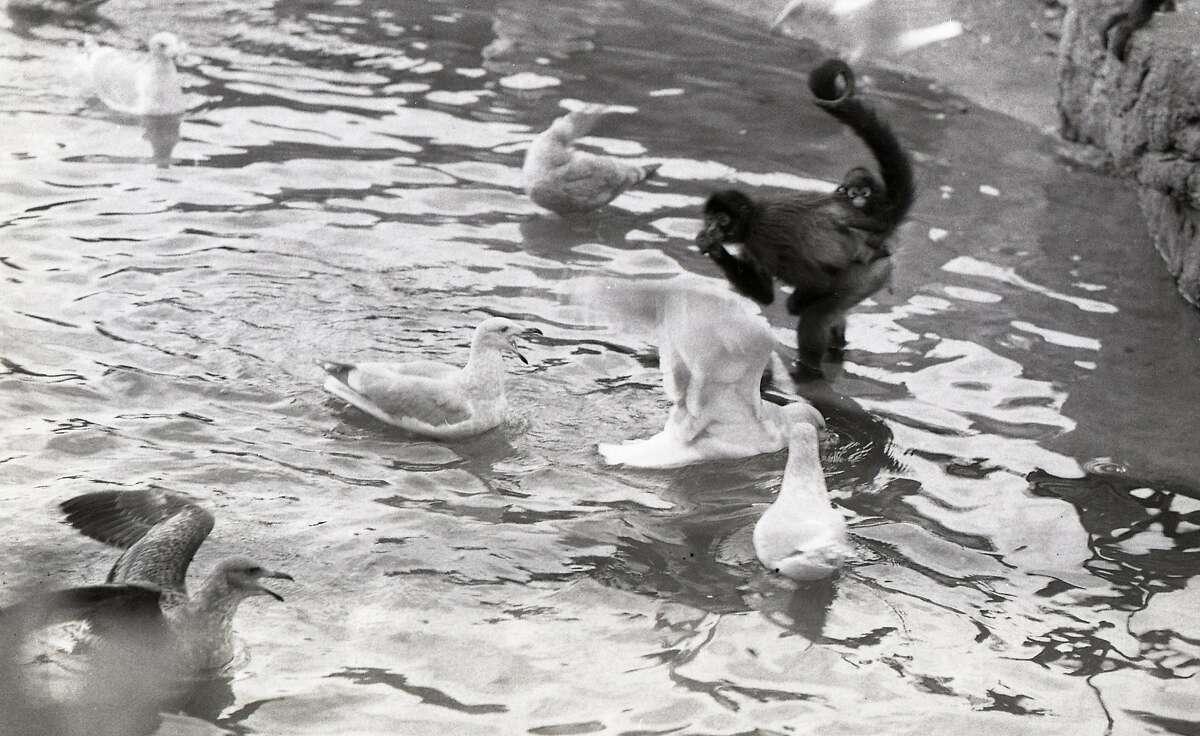 Fun and games on Monkey Island at Fleishhacker Zoo, November 24, 1974. Spider Monkeys and Sea Gulls