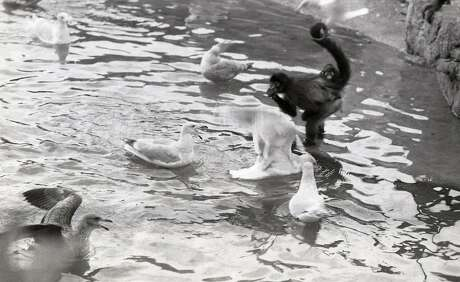 Fun and games on Monkey Island at Fleishhacker Zoo, November 24, 1974. Spider Monkeys and Sea Gulls