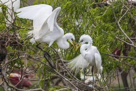 A male and female great egret touch bills over their nest at the rookery in High Island.