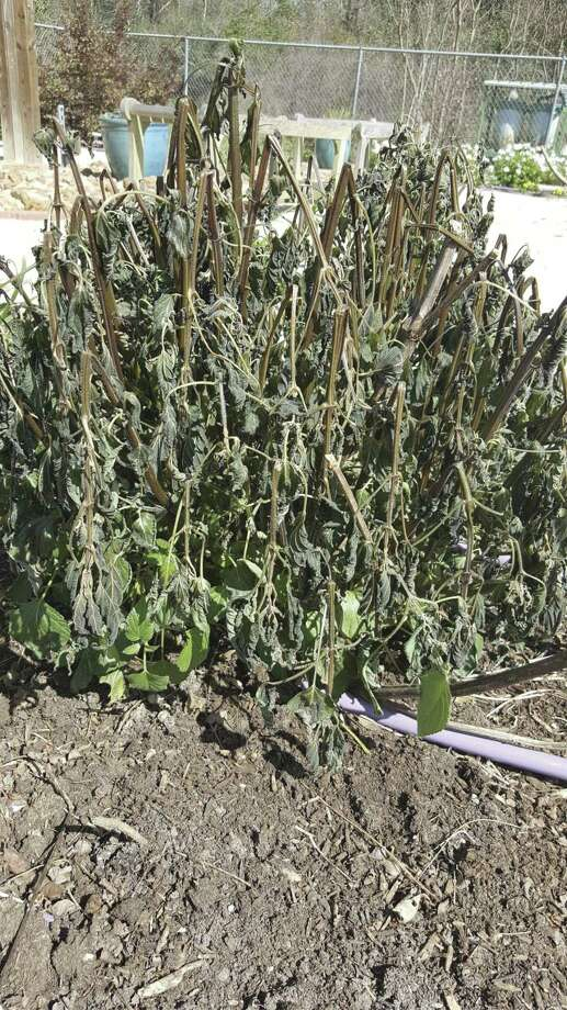 Freeze damaged leaves and stem serve as insulation to reduce further loss.