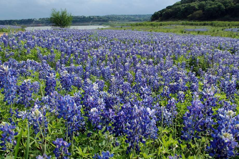 The bluebonnet is the Texas state flower, which covers hillsides and roadsides throughout the state in springtime. Photo: Joan Gonzalez / Pixabay Photo: Pixabay