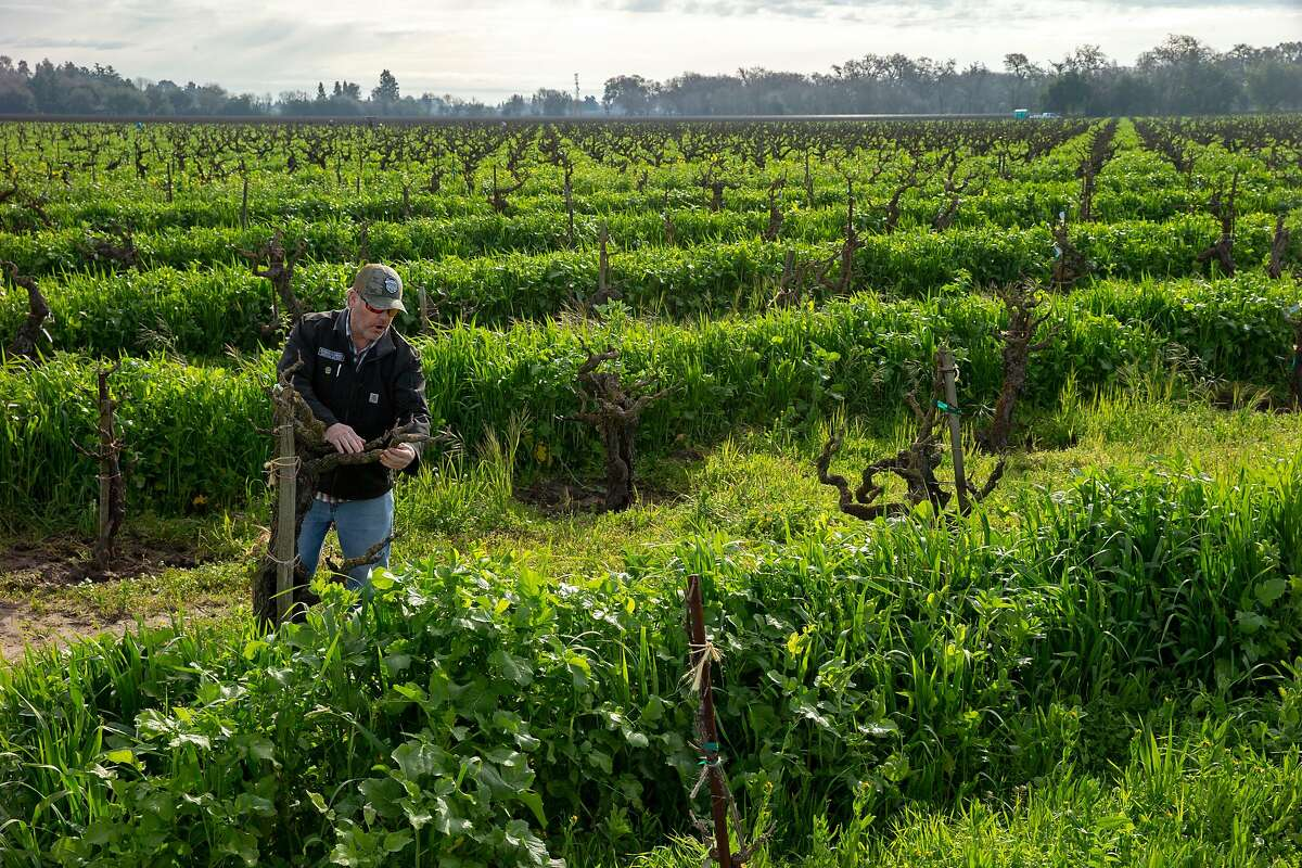 Kevin Phillips at the Bechthold Vineyard's cinsault vines on Wednesday, Feb. 20, 2019, in Lodi, Calif. In 2008, the Bechtholds handed over management of the Bechthold Vineyard to Phillips, vice president of operations of Michael David Winery.