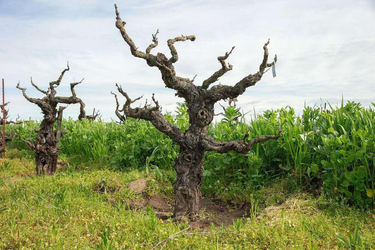 The Bechthold Vineyard's cinsault vines on Wednesday, Feb. 20, 2019, in Lodi, Calif.