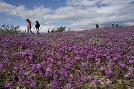 """In this Wednesday, March 6, 2019, photo, people walk among wildflowers in bloom near Borrego Springs, Calif. Two years after steady rains sparked seeds dormant for decades under the desert floor to burst open and produce a spectacular display dubbed the """"super bloom,"""" another winter soaking this year is shaping up to be possibly even better. (AP Photo/Gregory Bull)"""