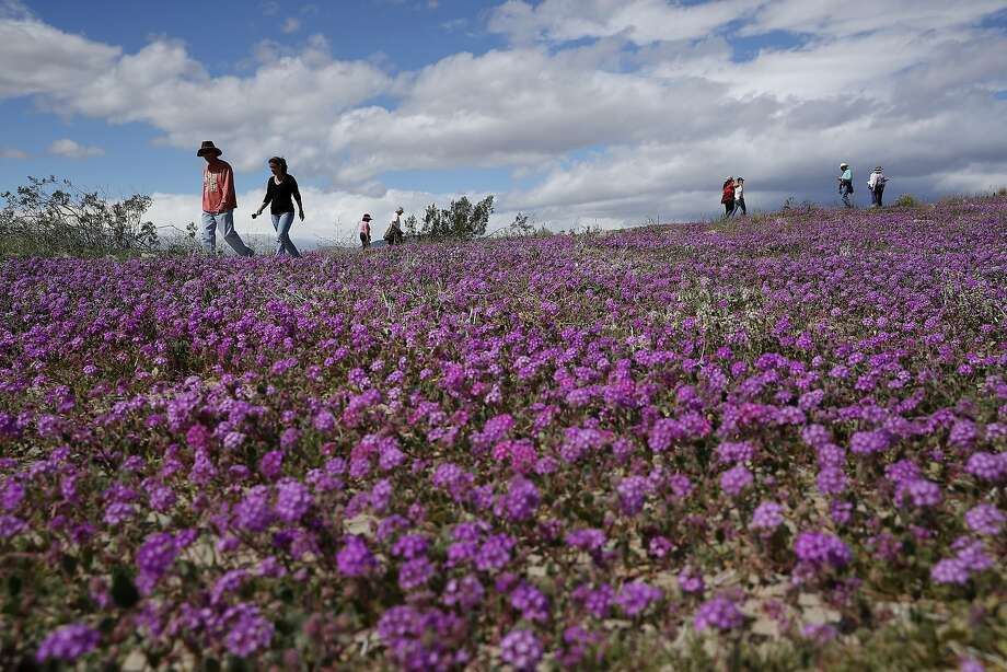Tourists observe wildflowers near Borrego Springs. Super blooms typically occur once in a decade. Photo: Gregory Bull / Associated Press