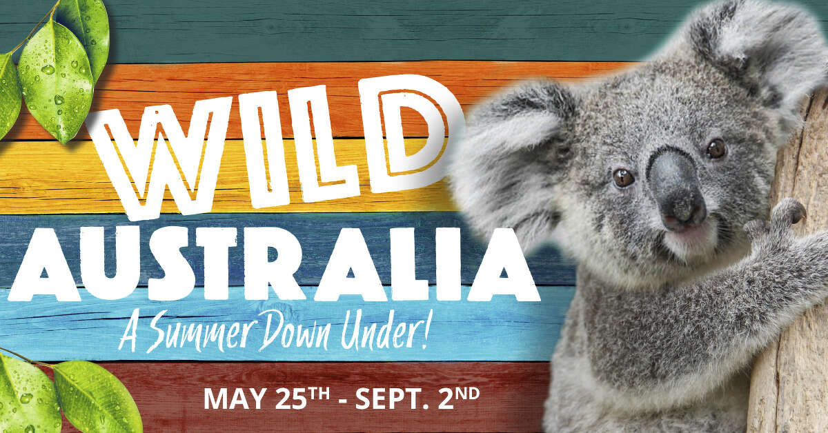 """After more than 20 years, San Antonio Zoo visitors will be able to see koalas as part of an all-new attraction called """"Wild Australia,"""" from May 25 through Sept. 2, according to a news release."""