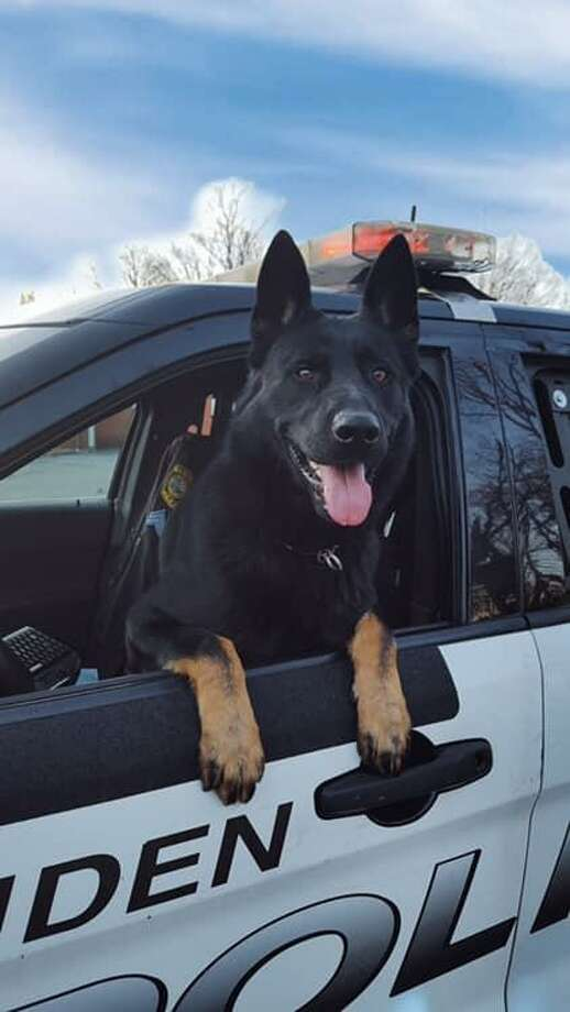 Knight, the new canine partner of Officer Jason Venditto. Photo: Hamden Police Department