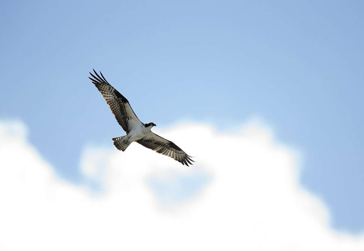 """A female osprey, dubbed """"Rosie"""" by her online fans, circles near her nest atop a crane alongside the Red Oak Victory at Rosie the Riveter/World War II Home Front National Historical Park, Friiday, March 8, 2019 in Richmond, Calif. The bird and its mate, """"Richmond,"""" are the subject of a webcam that keeps a continual eye on their nest atop the crane."""
