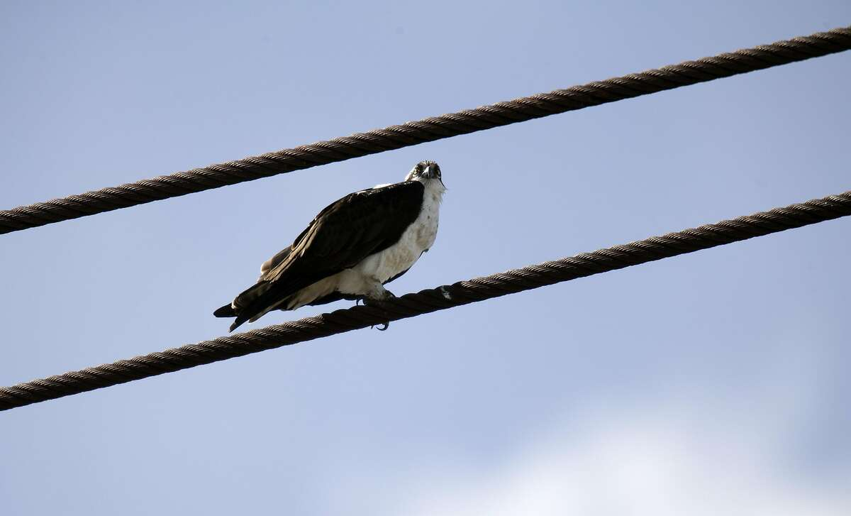 """A female osprey, dubbed """"Rosie"""" by her online fans, sits on the cable of a crane alongside the Red Oak Victory at Rosie the Riveter/World War II Home Front National Historical Park, Friiday, March 8, 2019 in Richmond, Calif. The bird and its mate, """"Richmond,"""" are the subject of a webcam that keeps a continual eye on their nest atop the crane."""