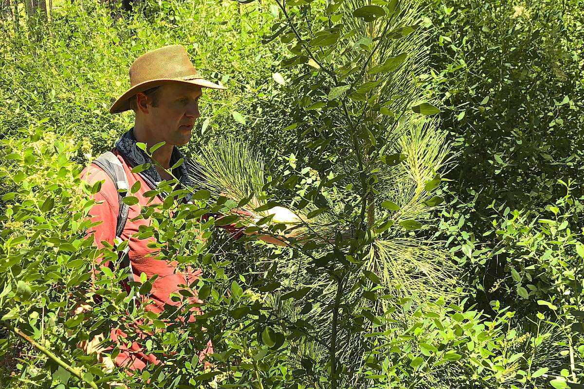 July 2018 -Chad Hanson conducting conifer regeneration surveys in a Rim Fire high-intensity fire patch in July of 2018, in the aftermath of the 2013 Stanislaus County fire.
