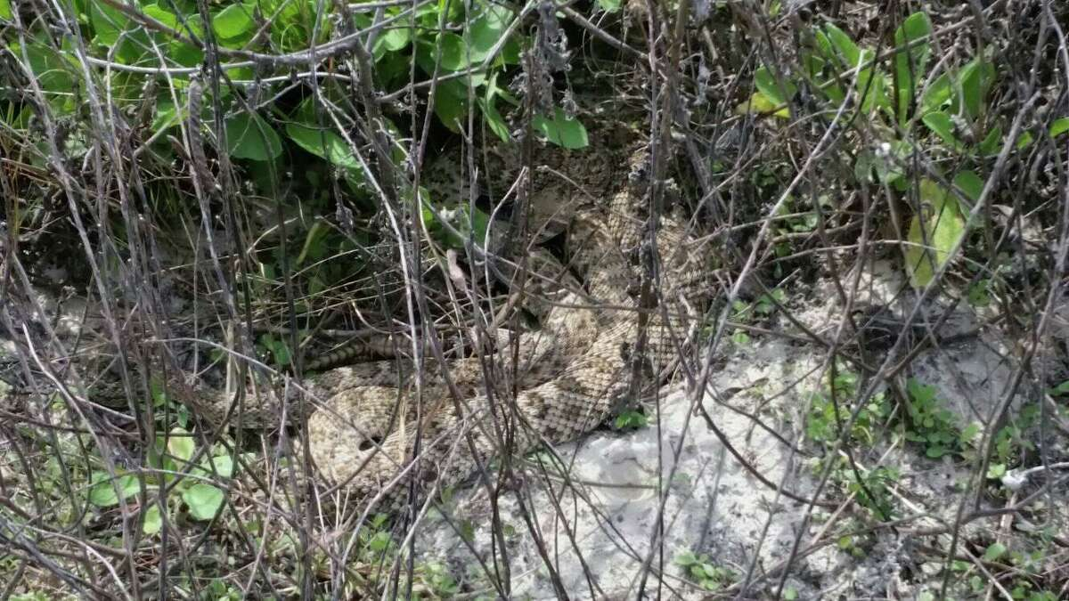 """Two rattlesnakes were spotted """"sunning themselves"""" within a few feet from the beach access trail, according to the Padre Island National Seashore."""