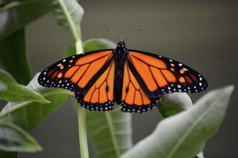 """Members of the Pomperaug Valley Garden Club will present the PBS Nova film """"The Incredible Journey of the Butterflies"""" at The Studio at Flanders Nature Center and Land Trust, Woodbury, March 19 at 7 p.m. The one-hour film will be followed by a discussion of the current status of monarchs, the Monarch Waystation at Flanders, and tips on how to create a butterfly-friendly garden. The Flanders' Studio is located on the corner of Flanders Road and Church Hill Road in Woodbury. The cost is $10 for members, $15 for guests. Those interested may register online at www.flandersnaturecenter.org or call 203-263-3711, ext. 10, for more information. Photo: Contributed Photo"""